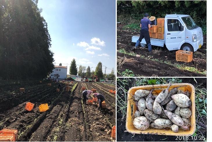 干し芋の原料サツマイモの収穫作業の様子