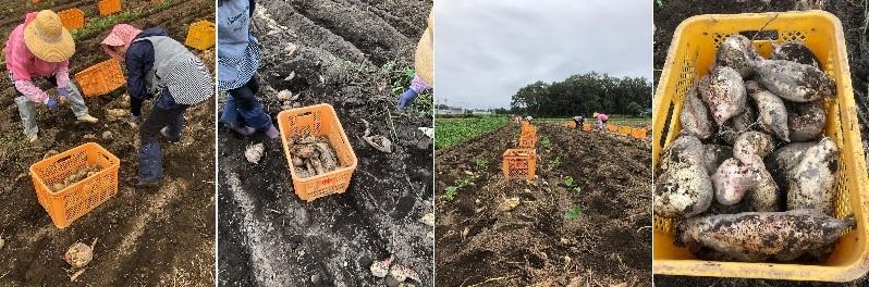 干し芋原料芋(サツマイモ)の収穫