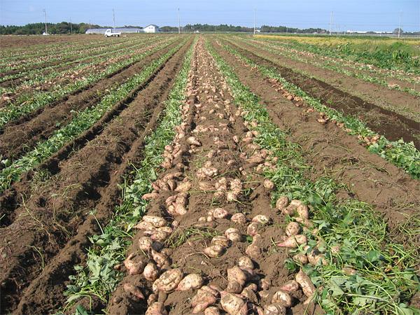 干し芋で使われる芋畑の様子